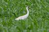 Whooping Crane - Grus americana by Bill VanderMolen