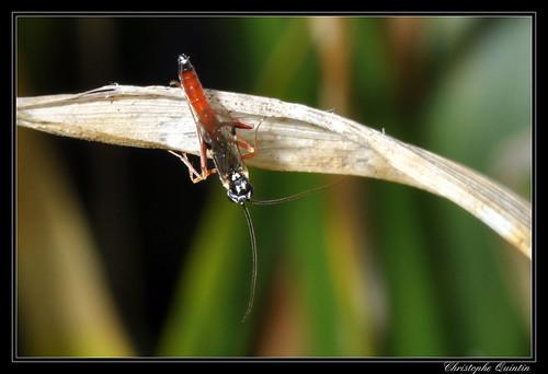 Lissonota sp. mâle