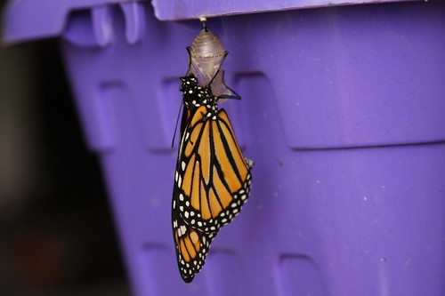 "Poof! Monarch butterfly: ""hatched"" on our kitchen table."