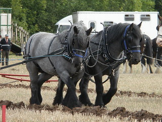 Dutch Draft Horse Team | by amandabhslater