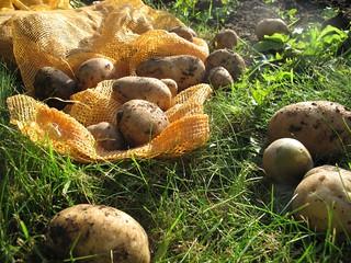 Potato (Solanum tuberosum L.) at Alnarp | by Dag Endresen