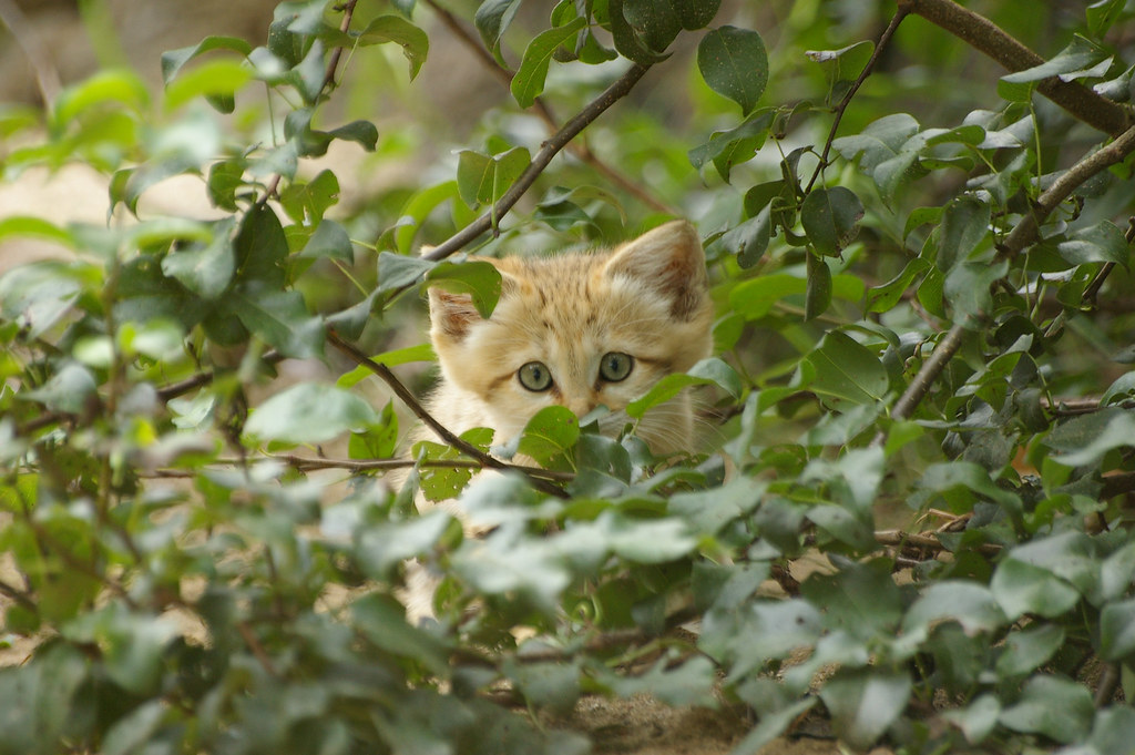 Kitten in the bush | Sand cat Sandkatt (Felis margarita) Pho… | Flickr