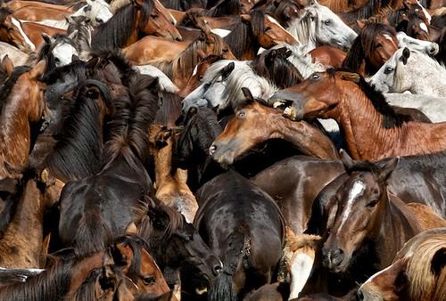 party horses españa color caballos fight spain fiesta galicia 7d shave tradition tradicion sabucedo rapadasbestas horsefight todojuanjo juanjoaza