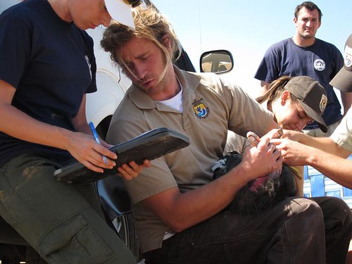 FWS biologist Joseph Brandt gauges the health of a condor | by USFWS Pacific Southwest Region
