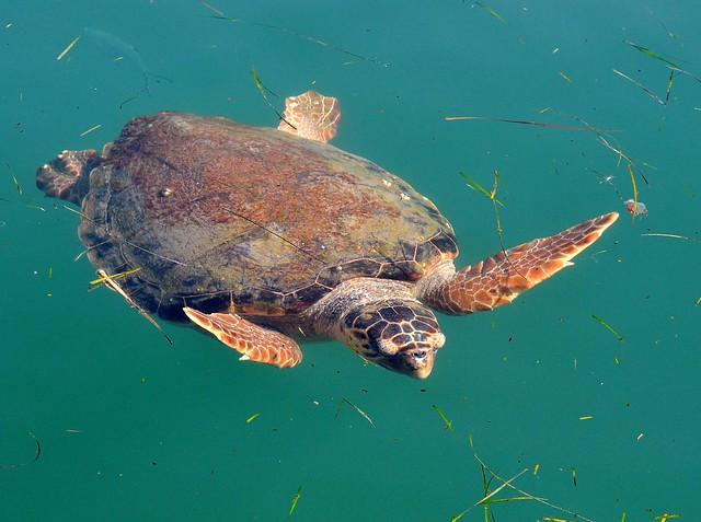 Loggerhead Turtle at Argostoli Harbour, Kefalonia.