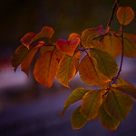 Evening Beauty - Leaves