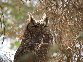 Cape Eagle Owl, Sossusvlei | by NH53