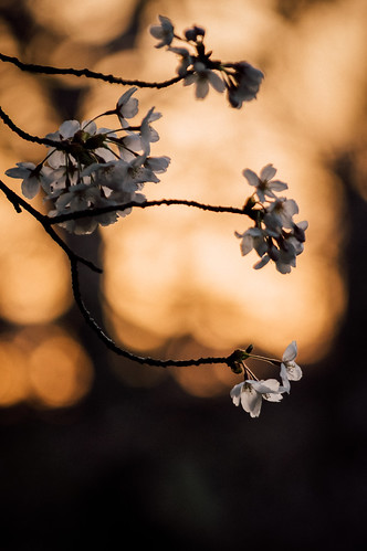 sunset japan pentax 桜 k3 和歌山県 wakayamacastle 和歌山城 wakayamaprefecture 日本さくら名所100選
