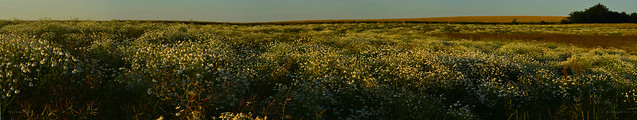 Flower field panorama