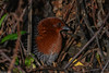 Red-chested Flufftail (Sarothrura rufa) male by Brendon White