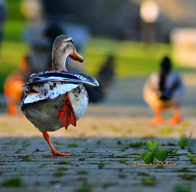 Duck race.
