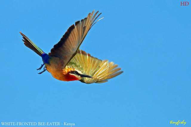 (Species# 962) White-fronted Bee-eater - [ Massai Mara National Park, Kenya ]