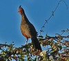 Rufous-Bellied Chachalaca (Ortalis wagleri) by troupial
