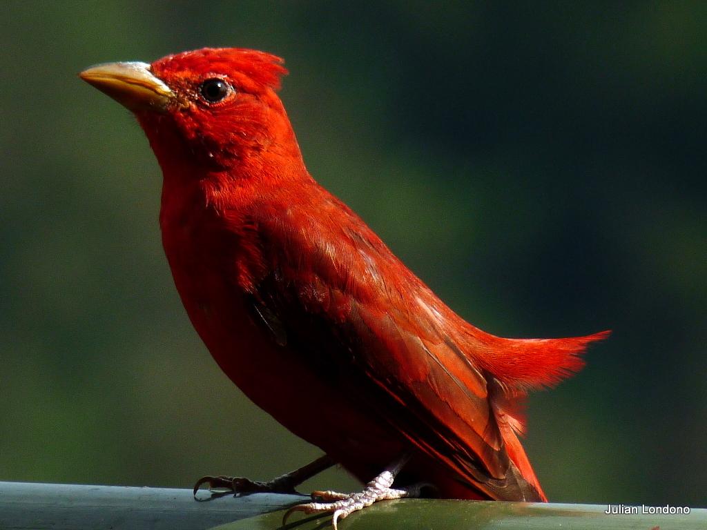 Imagen de una de las aves del Quindio: Piranga roja (Piranga rubra)