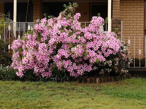 Flowering Azalea bush | by Tatters ✾