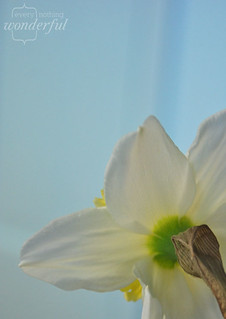 Daffodil | by {every}nothing wonderful