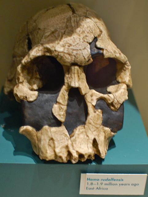Harvard Museum of Natural History: Skulls & the evolution of homo sapiens: Homo rudolfensis