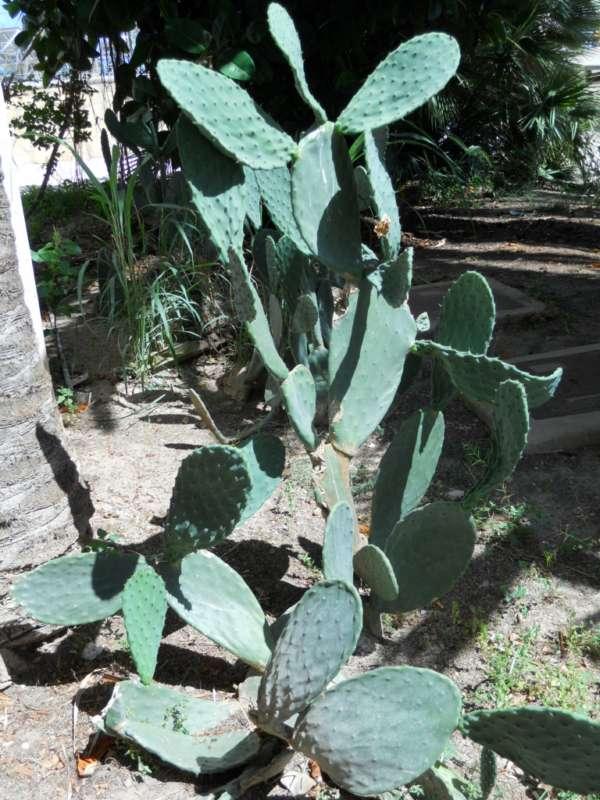 Opuntia robusta v 1