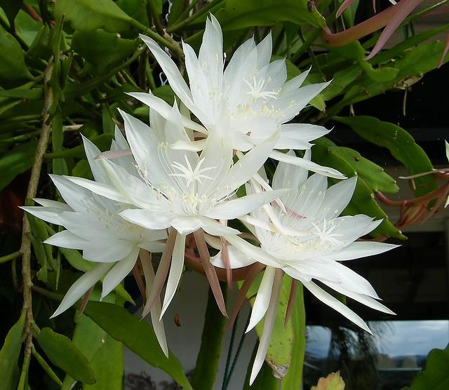 Epiphyllum pumillum