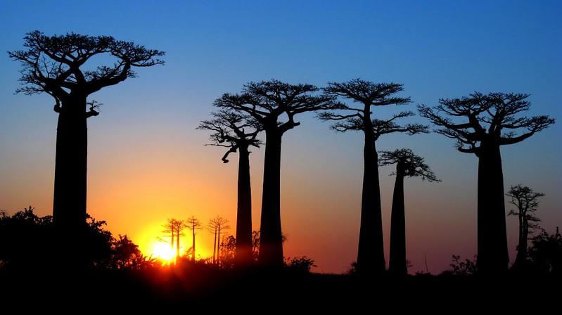 Avenue des Baobab