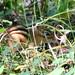 Hide and Seek Chipmunk