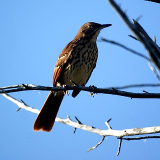 Brown Thrasher | by Mike's Birds
