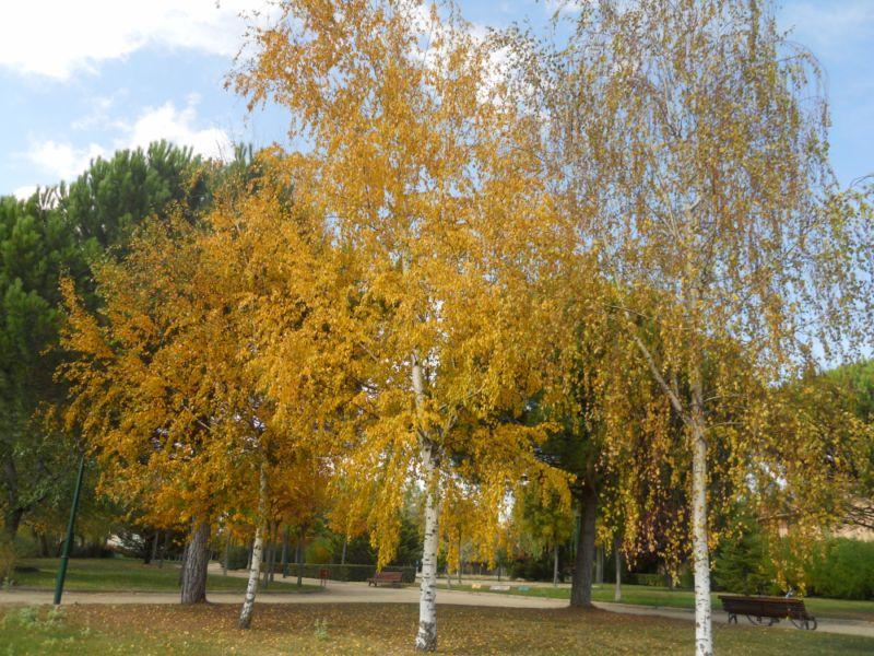 Abedules en otoño 1