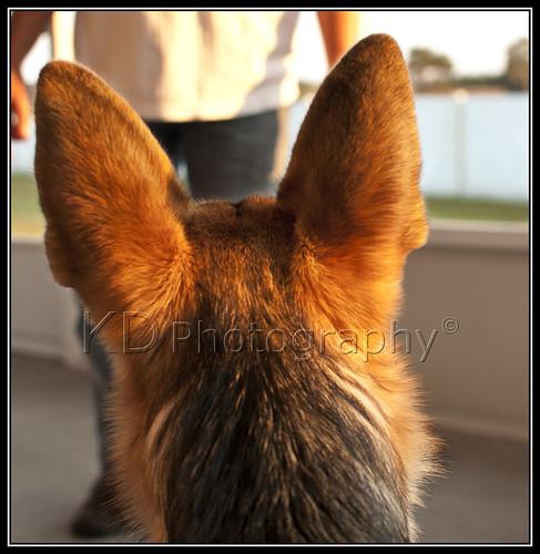 dog sunlight black puppy nikon tan canine germanshepherd akc d90 nikond90 wesleychapelfl akcbred