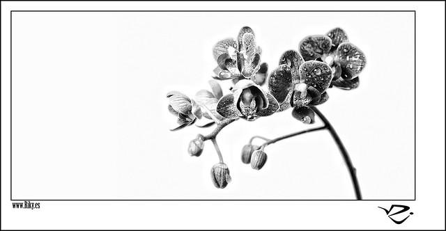 :: Orquídeas ::