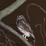 褐 鷹鴞 Brown Hawk Owl