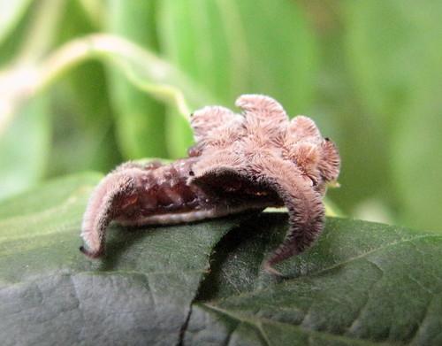tn moth caterpillar hamblencounty phobetronpithecium phobetron