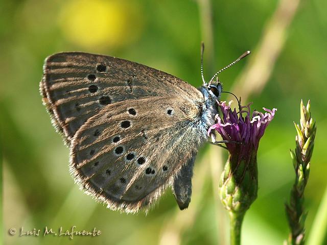 Maculinea alcon – Phengaris - La coevolución de las especies II