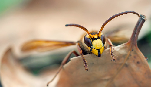 European Hornet (explored) | by kaibara87