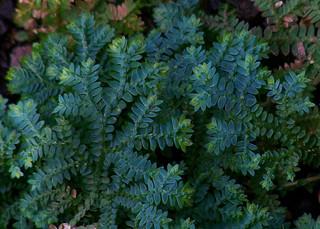 Selaginella uncinata very blue
