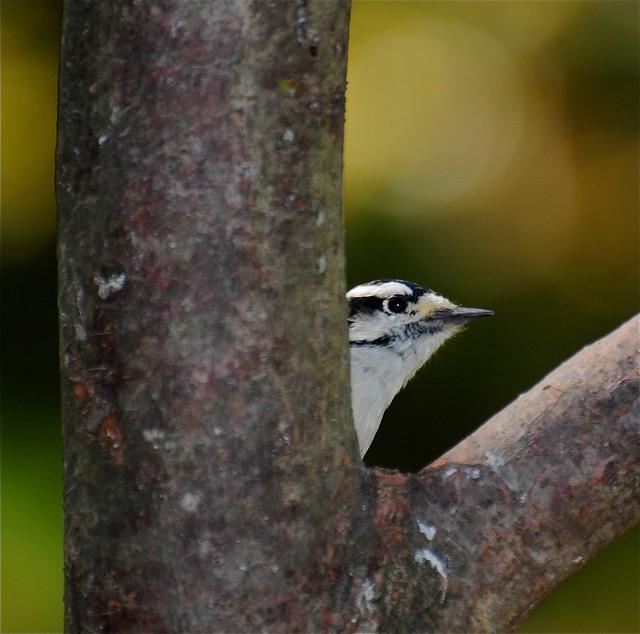 Downy Woodpecker 'Shy Guy'