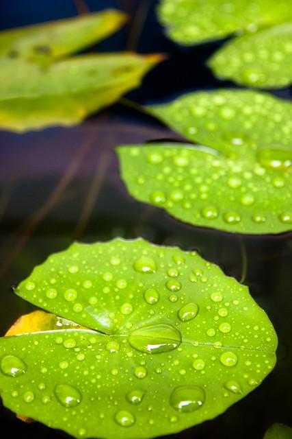 drop of rain on waterlily