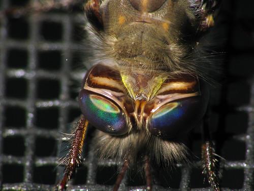 portrait bug insect eyes florida flash insects screen bugs fl arthropods arthropoda s5 arthropod neuroptera insecta flaglerbeach dcr250 raynox compoundeyes owlfly ascalaphidae img3916 owlflies flagler2010