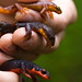Pacific Newts - Photo (c) Ken-ichi Ueda, some rights reserved (CC BY-NC)