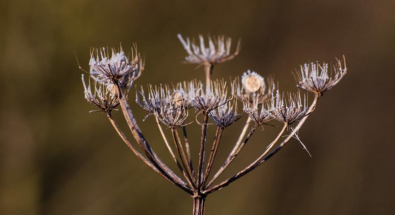 Umbellifer seedhead