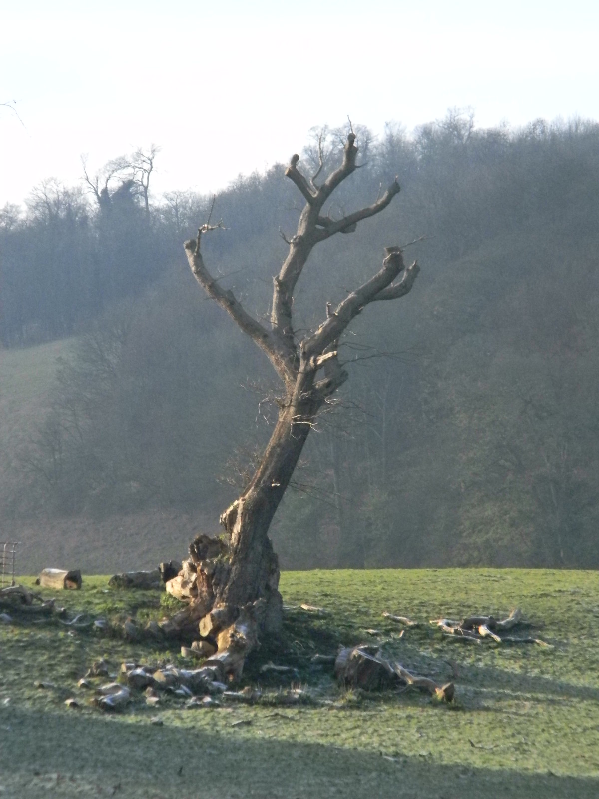 Distinctive stump Just needs a vulture sitting on it. Merstham to Tadworth