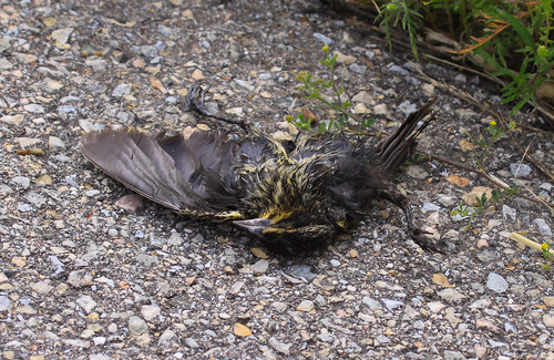Road-killed Red-winged Blackbird | by Laura Erickson