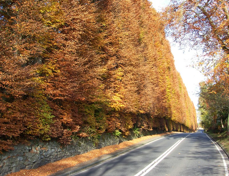 Autumn Meikleour Beech Hedge 09