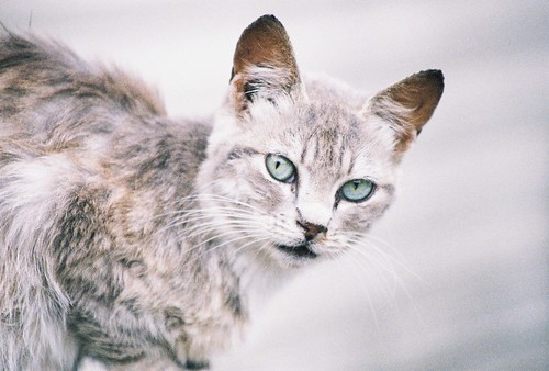 Silver Tabby Cat by Chriss Pagani