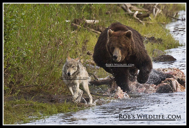 Grizzly Bear and Gray Wolf-5521-W