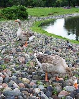 geese | by ksbuehler