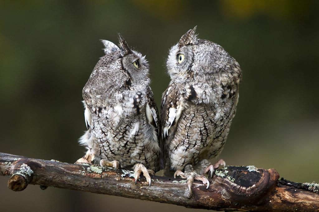 screech owls | Tumblr