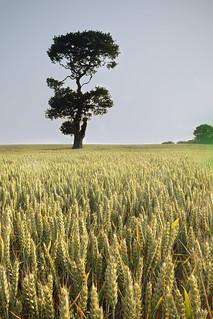 Etching Hill Oak