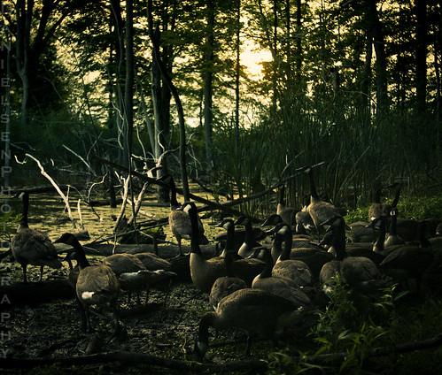 sunset water birds geese pond canadian swamp poopy waterfowl loud smelly annoying pest plotting blight pests plague nuisance eastaurora nefarious honking pestilence insidious sinkingpond