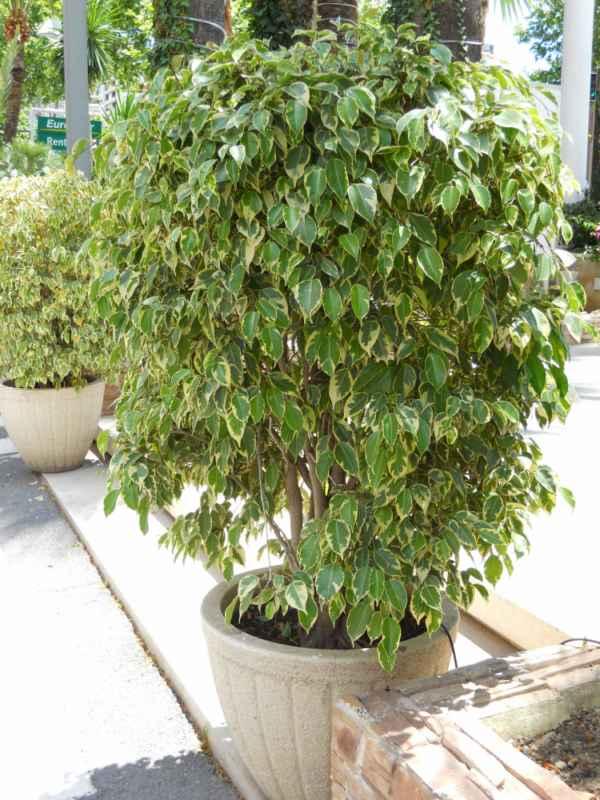 Ficus benjamina 'De Gantel' v 1