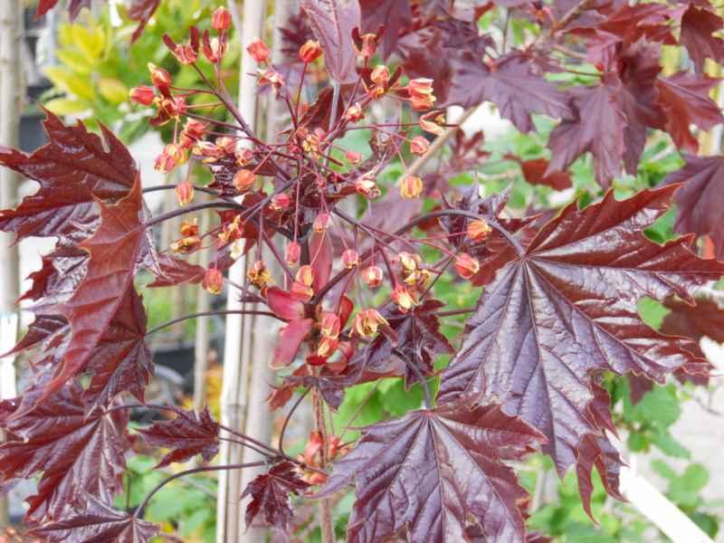 Acer platanoides 'Crimson King' 1